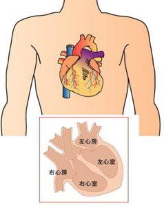心臓の位置、本当はどこにあるのか